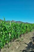 Winnica — Zdjęcie stockowe