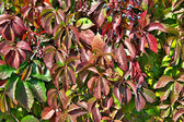 Parthenocissus — Stock Photo