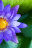 Hardy Waterlily in nature pool — Stock Photo