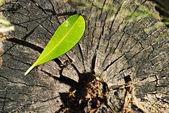 Leaf Plant growing on tree stump — Stock Photo