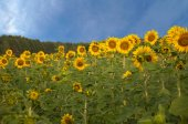 Sunflower field and blue sky, summer time — Stock Photo
