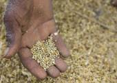 Hand shows the threshed millet grain kernels. — Stock Photo