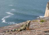 Iguana on the rocks. — Stock Photo
