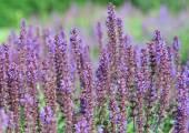 Salvia flowers — Stock Photo