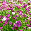 Flowers Dianthus barbatus — Stock Photo #54317033