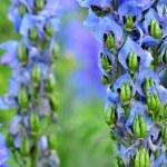 Delphinium flower seeds — Stock Photo #54319849