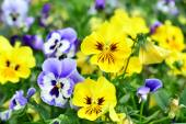 Flowers pansy — Stock Photo
