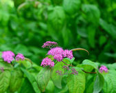 Shrub Spiraea — Stock Photo