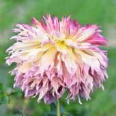 Flowers dahlia pink — Stock Photo