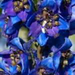 Flowers Delphinium — Stock Photo #59526695