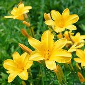 Gele lily bloem — Stockfoto