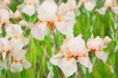 Flowers Irises — Fotografia Stock
