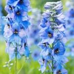 Flower Delphinium — Stock Photo #59534625