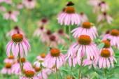Flowers Echinacea purpurea — Stock Photo