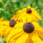 Flower rudbeckia — Stock Photo