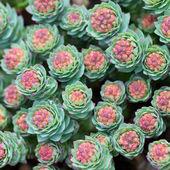 Rozchodník rostlina — Stock fotografie