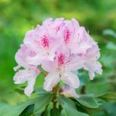 Flower pink rhododendron — Stock Photo