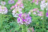 Flowers Tarenaya — Stock Photo