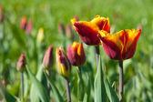 Bloeiende tulpen — Stockfoto