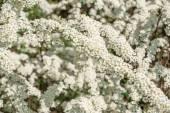 Flowering shrub Spirea — Stock Photo