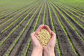 Soy bean concept, hands with soy bean crop and field — Stock Photo