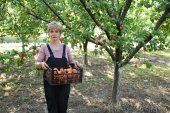 Agriculture, farmer in apricot orchard — Stock Photo