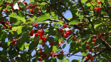 Agriculture,  red cherry fruit at tree branch — Stockvideo