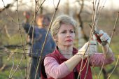 Agriculture, pruning in vineyard — Stock Photo