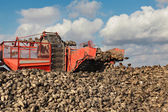 Agriculture, sugar beet, root harvesting in field — Stock Photo