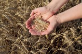Agricultural concept, wheat in hands and field — Stock Photo