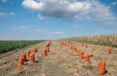 Agricultural scene, bags of onion in field after harvest — Stock Photo