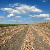 Agricultural scene, onion in field after harvest — Stock Photo