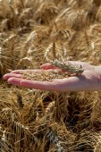 Agricultural concept, wheat in hand — Stock Photo
