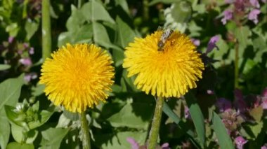 Spring flowers, dandelion and bee — Stock Video