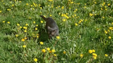 Black cat at meadow — Stockvideo