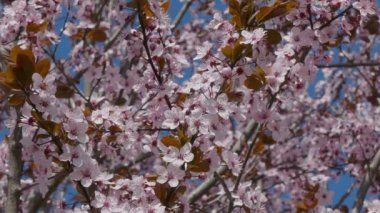 Colorful pink plum flowers in spring — Stock Video