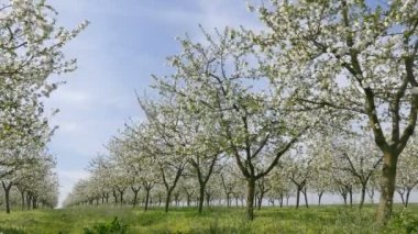 Spring in blooming cherry orchard — Stock Video