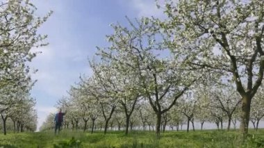 Blossoming cherry trees in spring and farmer or agronomist inspecting flowers — Stock Video
