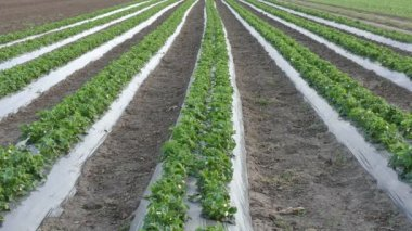 Strawberry plants with  plastic protecting strips in field, HD video — Stock Video