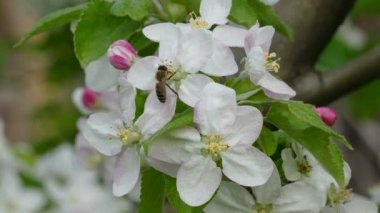 Bee and bumblebee at blooming apple tree flowers — Stock Video