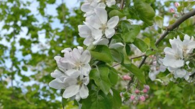 Agriculture, apple flowers at tree branch in spring — Stock Video