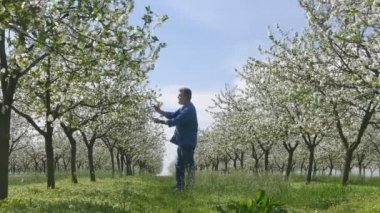 Blossoming cherry trees in spring and farmer or agronomist inspecting flowers — Stok video