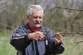 Agriculture, pruning in orchard, senior man working — Stock Photo