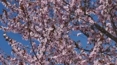 Colorful beautiful blooming plum tree, pink flowers — Stock Video