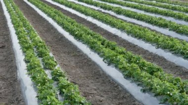Agriculture strawberry plant field — Stock Video