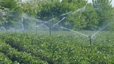 Agriculture, potato field watering, irrigation system — Stock Video