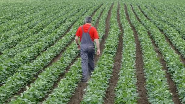 Agricultor en el campo de la haba de soja — Vídeo de stock