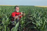 Agricultural scene, farmer in corn field — Stock Photo