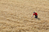 Agricultural scene, farmer or agronomist inspect wheat field — Stock Photo