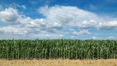 Agriculture, corn field with beautiful sky — Stock Photo